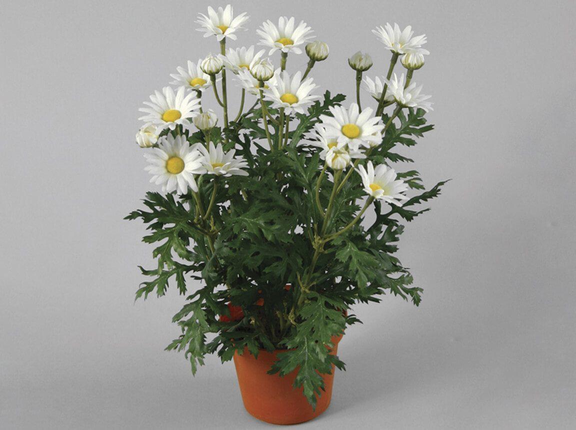 Udlejning / leje af kunstige blomster. Meget naturtro kunstig Marguerit i potte. Lejepris pr. dag kr. 35,-